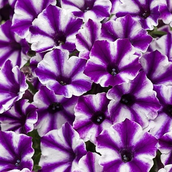 Petunia 'Supertunia Mini Vista Violet Star'