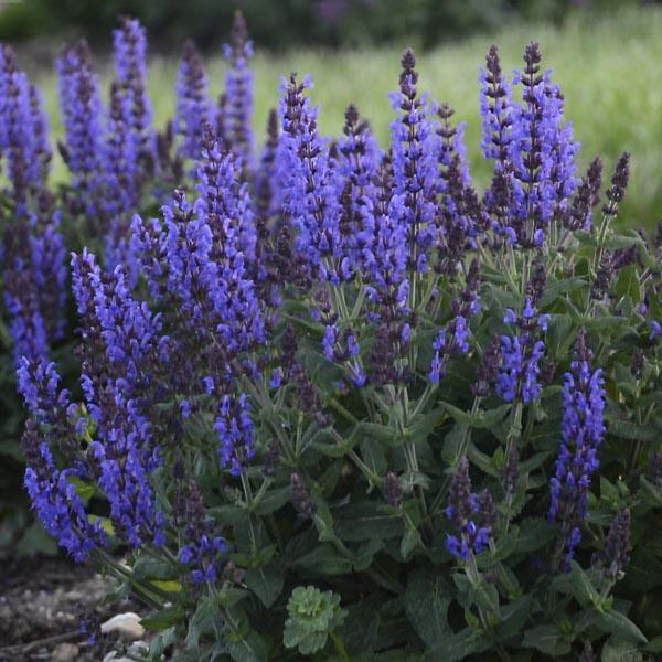 Salvia nemorosa 'Bumbleblue (sage)