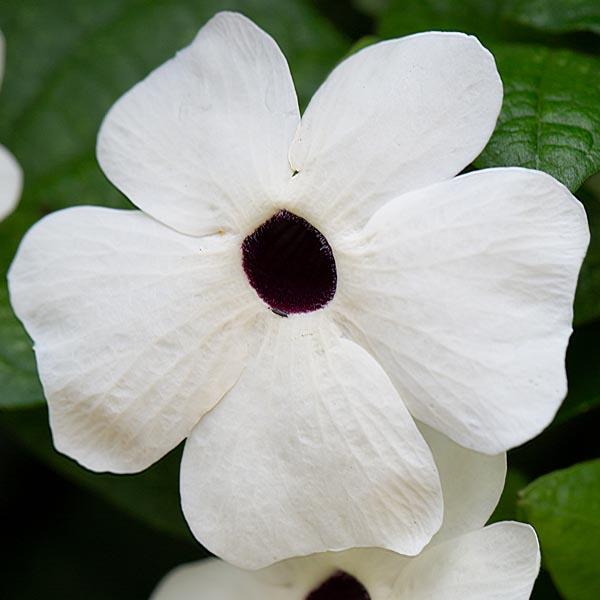 Thunbergia 'TowerPower White'
