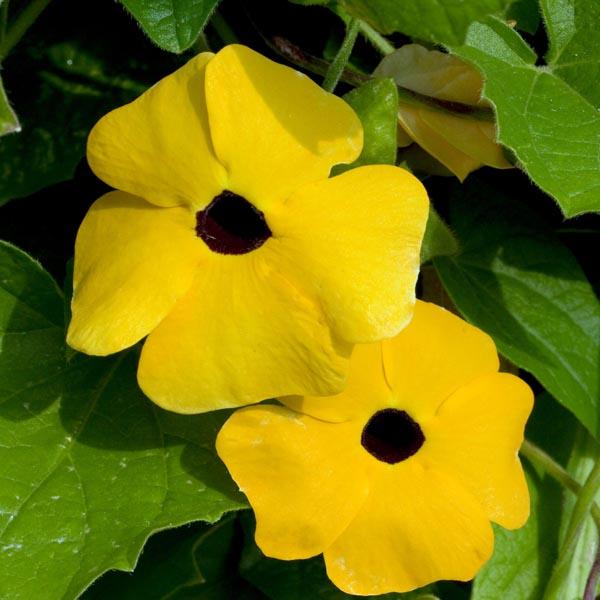 Thunbergia 'TowerPower Yellow'