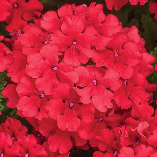 Verbena 'Superbena Red'