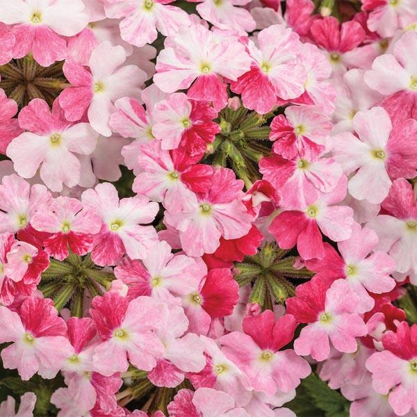 Verbena 'Superbena Sparkling Rosé'
