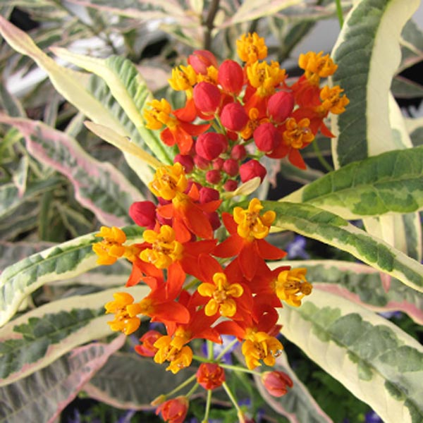 Asclepias 'Monarch Promise'