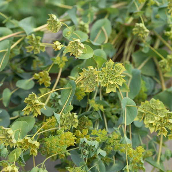 BUPLEURUM griffithii 'Green Gold'