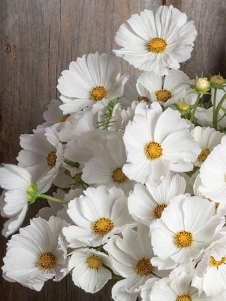 Cosmos bipinnatus 'Afternoon White'