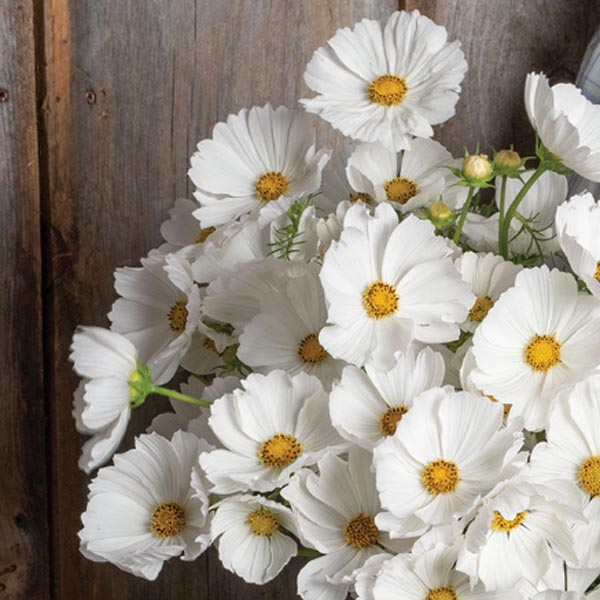 Cosmos bipinnatus 'Afternoon White'