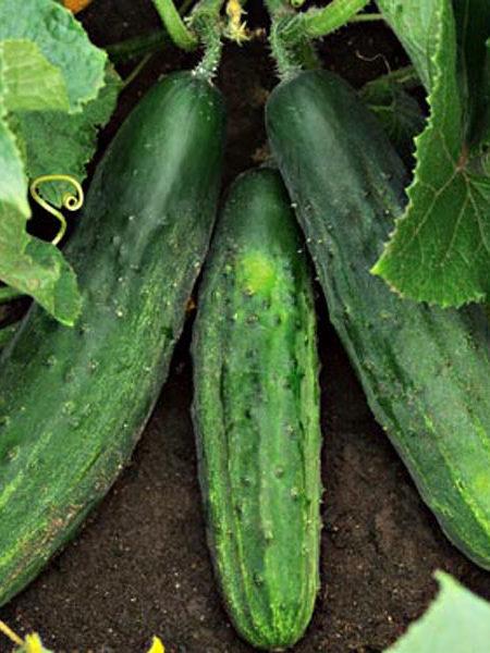 Cucumber 'Patio Snacker' slicing