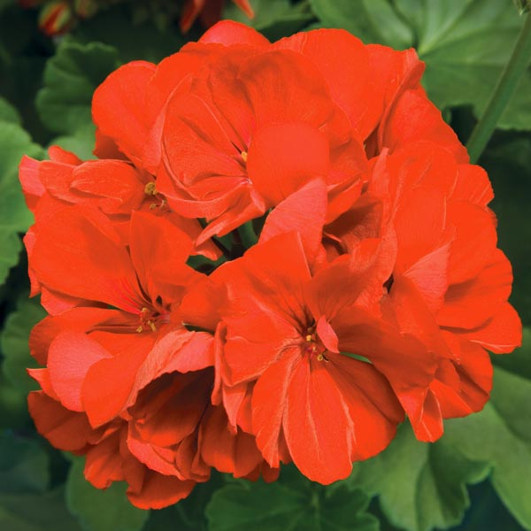 Interspecific Geranium 'Calliope Large Orange Splash'