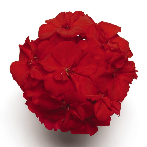 Zonal Geranium 'Presto Deep Scarlet'