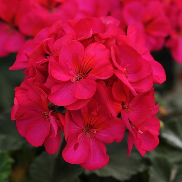 Zonal Geranium 'Presto Violet'