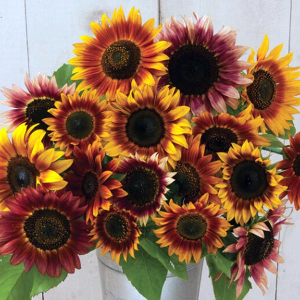 Helianthus annuus 'Autumn Beauty Mix'