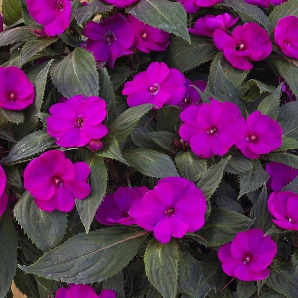 SunPatiens 'Purple'