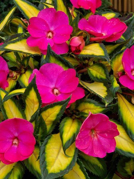SunPatiens 'Tropical Rose'