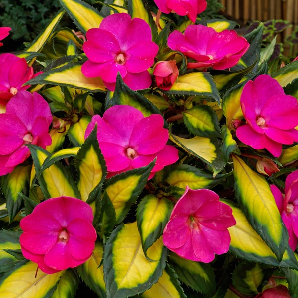 SunPatiens 'Tropical Rose'