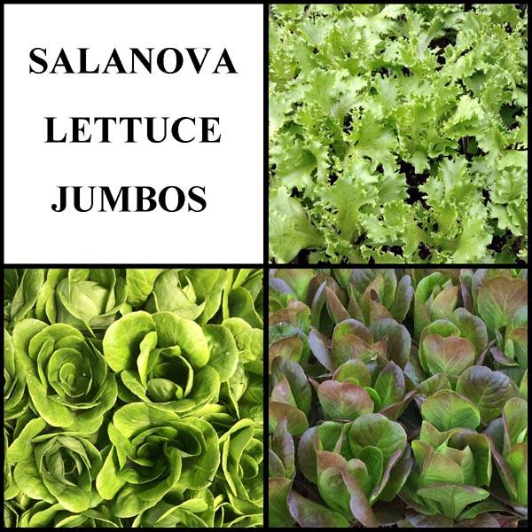 Salanova Lettuce Jumbos