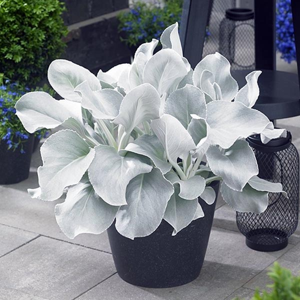 Senecio candicans 'Angel Wings'