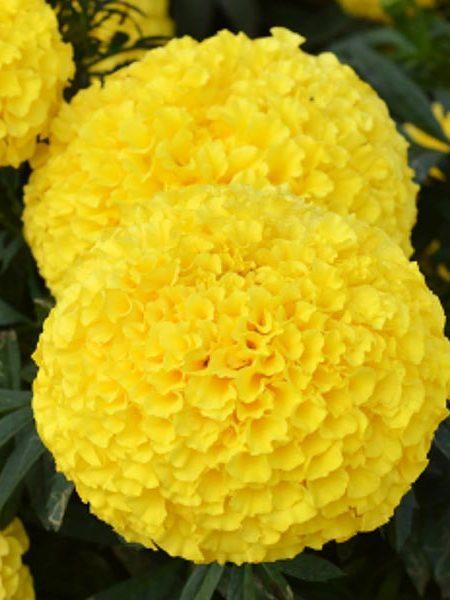 Tagetes erecta 'Big Duck Yellow'