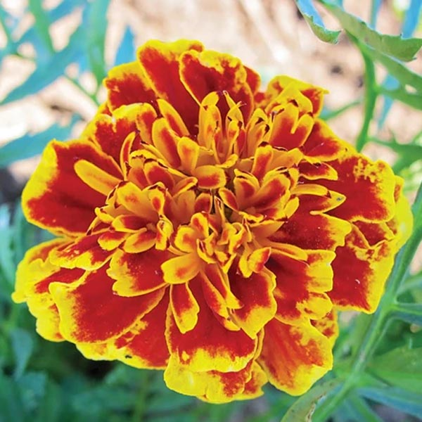 Tagetes patula 'Colossus Red Gold Bicolor'