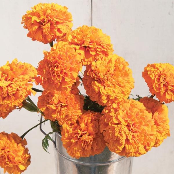 Tagetes erecta 'Giant Orange'