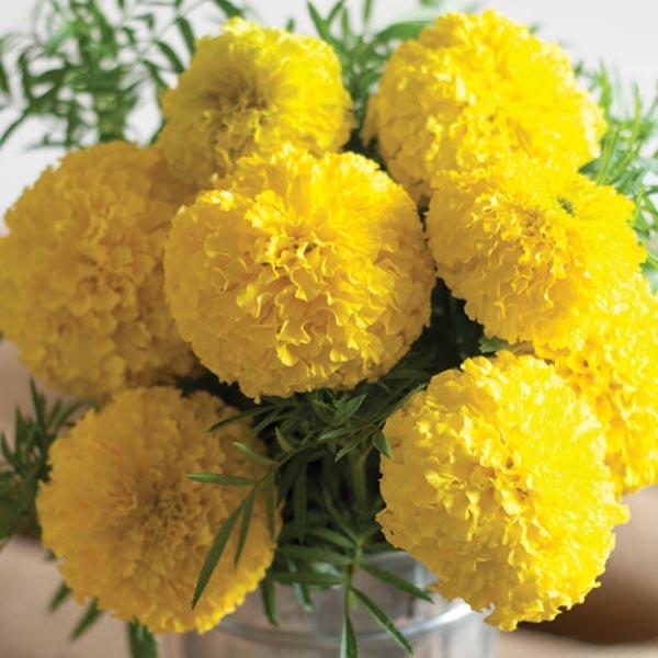 Tagetes erecta 'Giant Yellow'