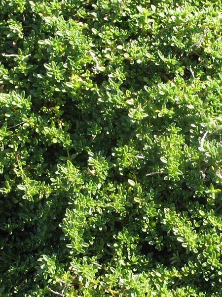 Thyme 'Highland Cream' (thymus praecox)