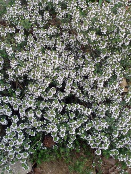 Thyme 'Orange Balsam' (thymus vulgaris)
