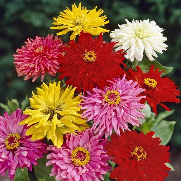 Zinnia elegans 'Super Cactus Giant Mix'