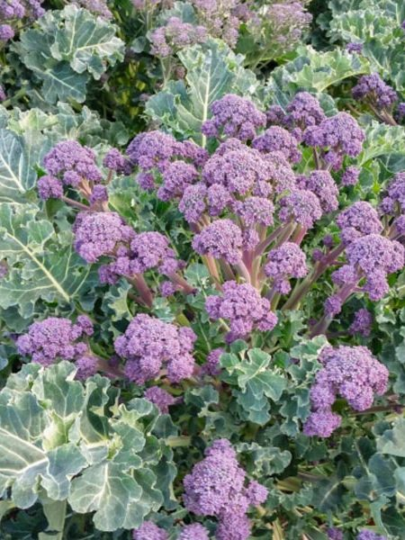 Broccoli 'Bonarda'