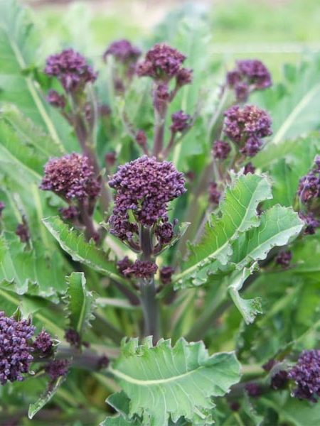 Broccoli 'Red Arrow'