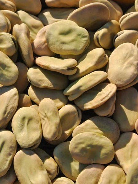 Fava Bean 'Aprovecho'