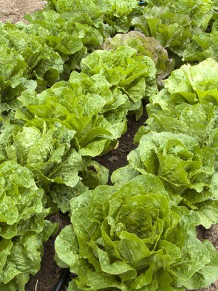 Lettuce 'Sea of Romaine Mix'