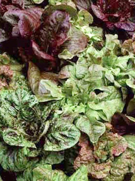 Lettuce 'Wild Garden Mix'
