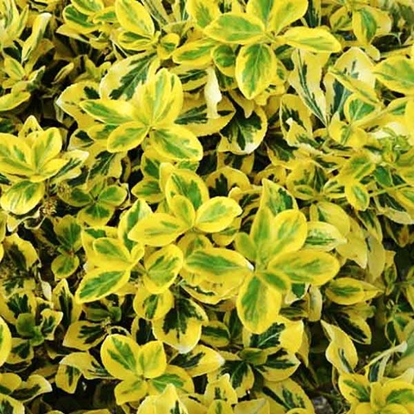 Euonymus 'Emerald 'n' Gold'