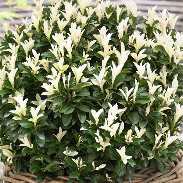 Euonymus 'Paloma Blanca'