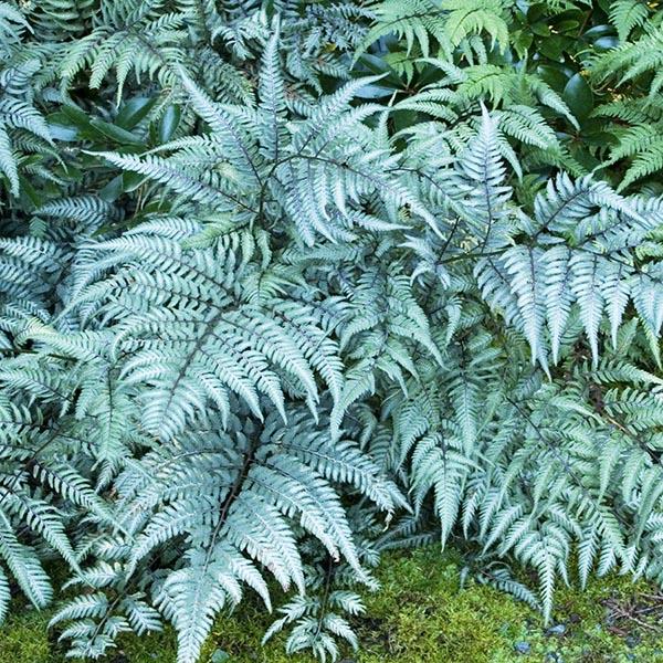 'Metallicum' hardy fern