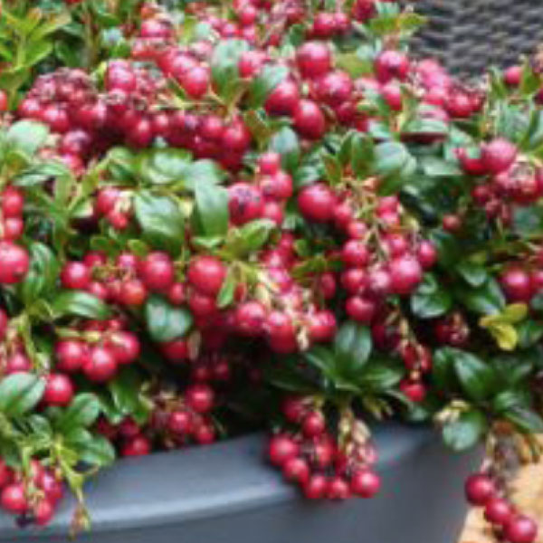 Lingonberry 'Red Candy'