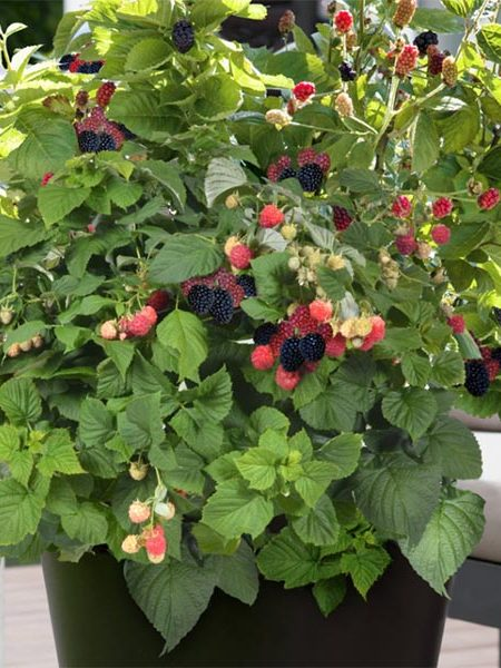 Blackberry 'Baby Cakes'
