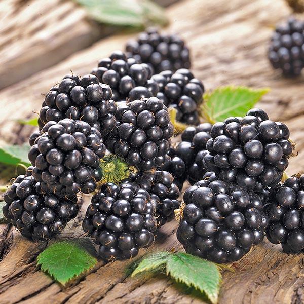 Blackberry 'Chester'