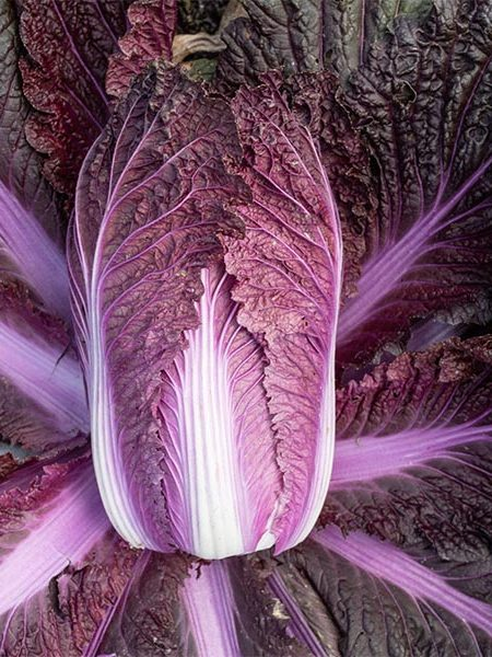 Cabbage Napa 'Merlot'