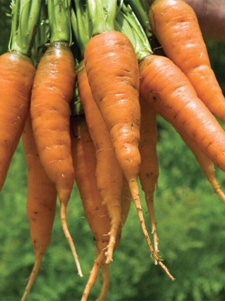Carrot 'Caracas'