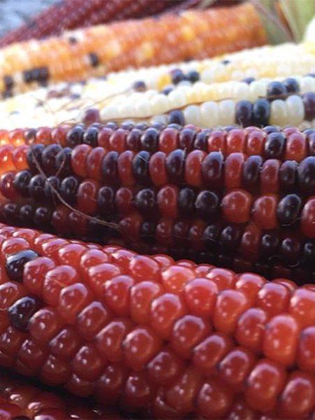 Corn 'Firecracker'