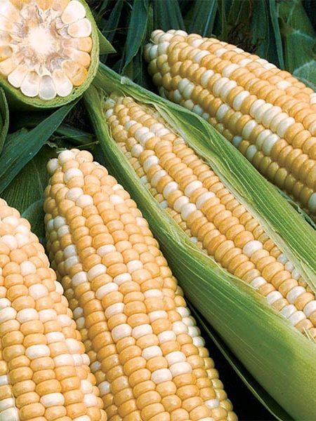 Corn 'Obsession'