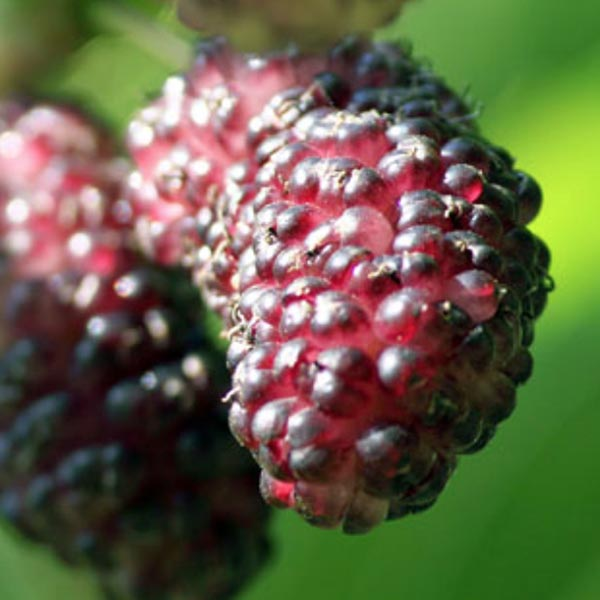 Mulberry 'Dwarf Everbearing'
