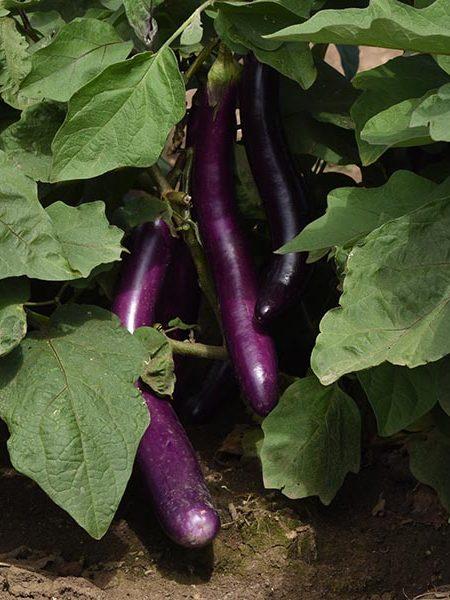 Eggplant 'Asian Delite'