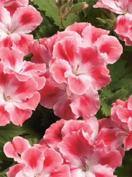 Regal Geranium 'Candy Flowers Peach Cloud'