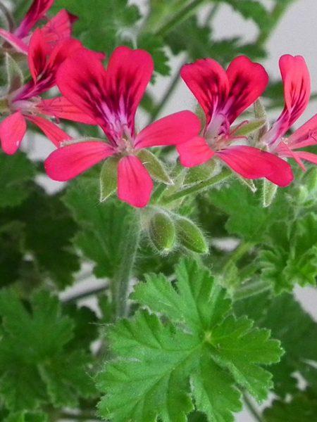 Scented Geranium 'Concolor Lace'