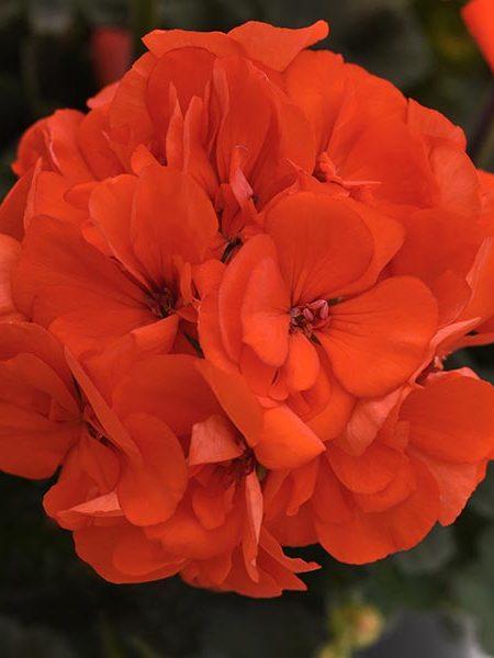 Zonal Geranium 'Presto Orange'