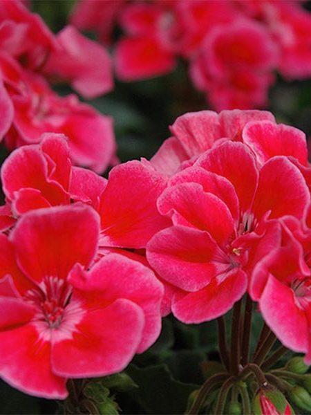 Zonal Geranium 'Presto Rose Sizzle'