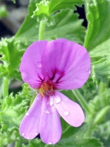 Scented Geranium 'Cinnamon'