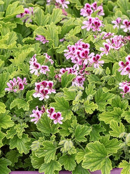Scented Geranium 'Orange Fizz'